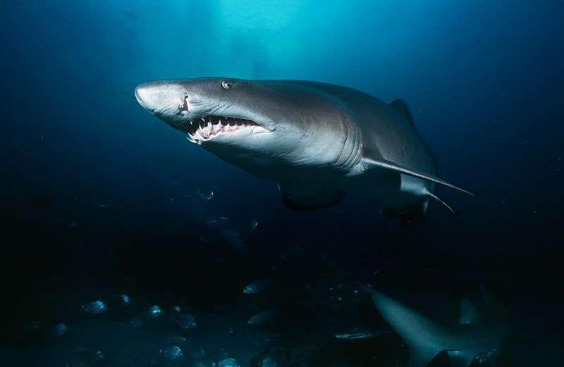 Miért támadnak a cápák?
